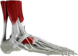 Biomechanics of the Foot and Ankle Complex